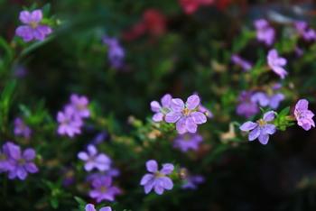 couphea_hyssopifolia