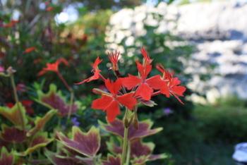 pelargonium_hybride